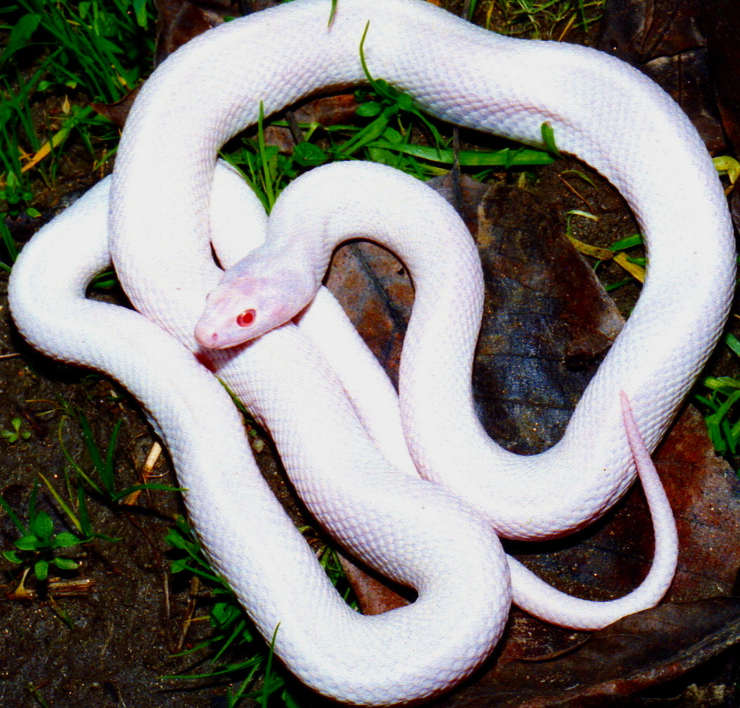 Pituophis catenifer affinis (Snow white albino) - WORLD ...