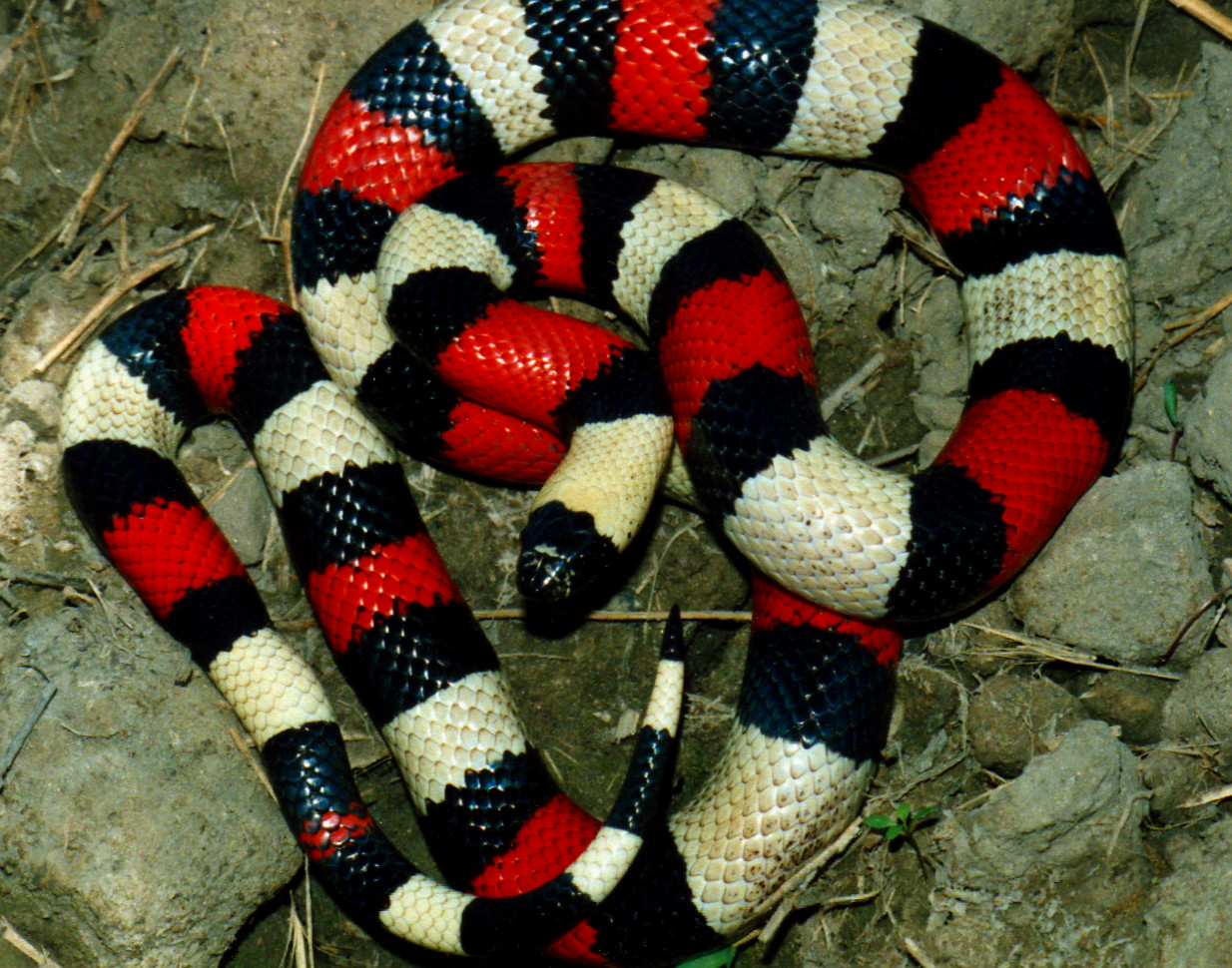 MILKSNAKES - WORLD PITUOPHIS WEB PAGE BY PATRICK H  BRIGGS
