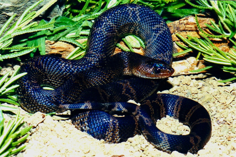 Gallery For > Black Pine Snake Map